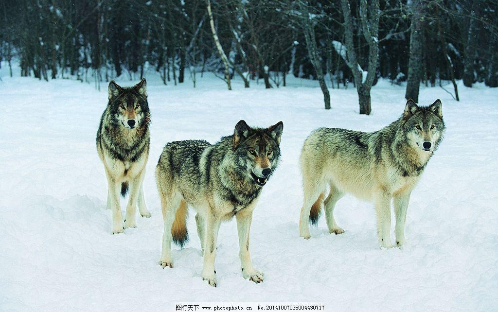 动物世界 动物 动物园 狼 三只狼 动物 摄影 生物世界 野生动物 304