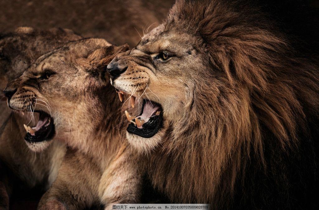 秦皇岛 唯美 意境 公园 动物园 野生动物园 动物 狮子 狮 威猛 凶猛