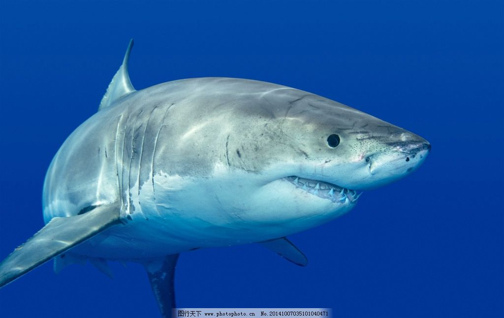 白鲨 海洋生物