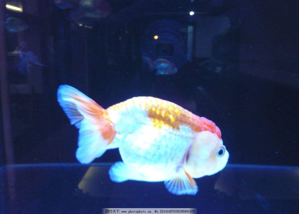 金鱼 动物 水下游动 光影 光晕 摄影 生物世界 鱼类