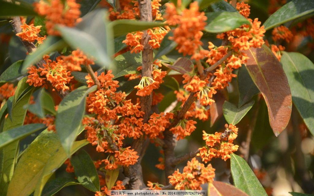 花卉 桂花 木犀 金桂 岩桂 花簇生 叶腋 花小 花有白 黄 橙红等色
