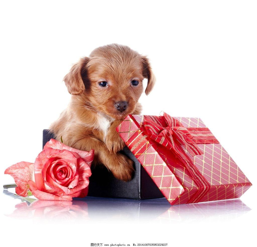 狗狗礼物图片,可爱 小狗狗 可爱狗狗 萌宠 宠物 萌-图