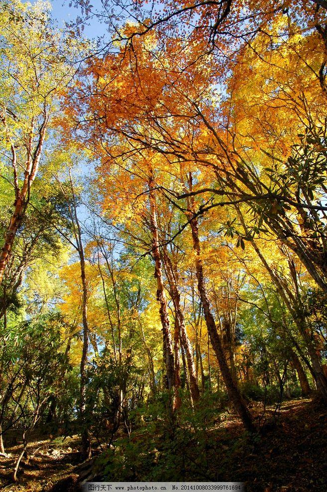 秋天 树林 秋景 落叶 金黄 摄影 旅游摄影 国内旅游 300dpi jpg