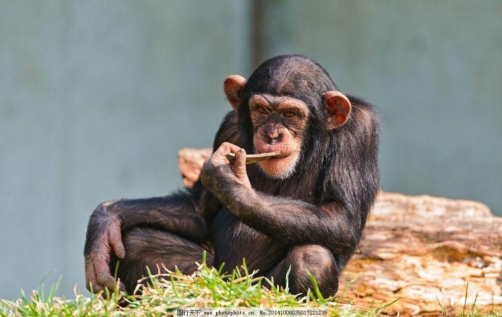 黑猩猩 灵长类 哺乳动物 思考 猩猩 小动物 野生动物 野生动物 摄影
