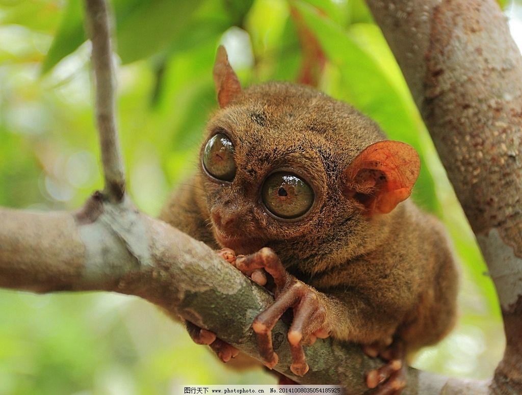 菲律宾眼镜猴 眼镜猴 大眼狐猴 鼠狐猴 灵长动物 可爱 野生动物 摄影