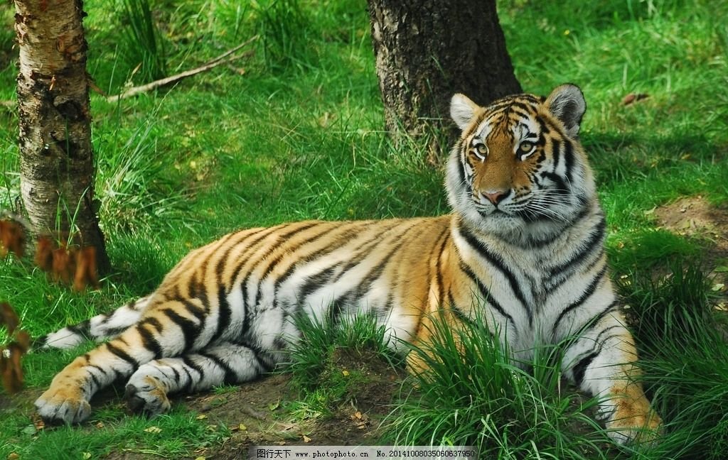 东北虎 老虎 猛虎 野兽 猫科动物 猛兽 食肉动物 凶猛 老虎图片 老虎