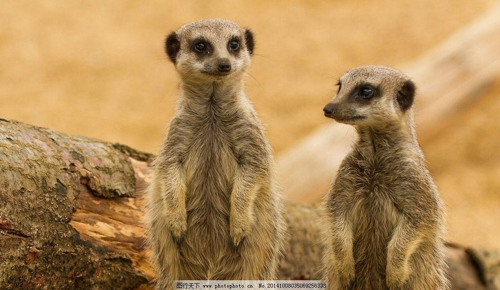 猫鼬 狐獴 小动物 动物 野生动物 可爱 保护动物 生物世界 野生动物