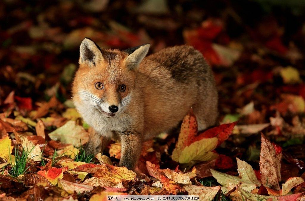 狐狸 小狐狸 动物 野生动物 保护动物 小动物 野生动物 摄影 生物世界