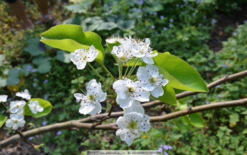 梨花 绿叶 梨树 白色 鲜花 果园 果树 摄影 生物世界 花草 300dpi jpg