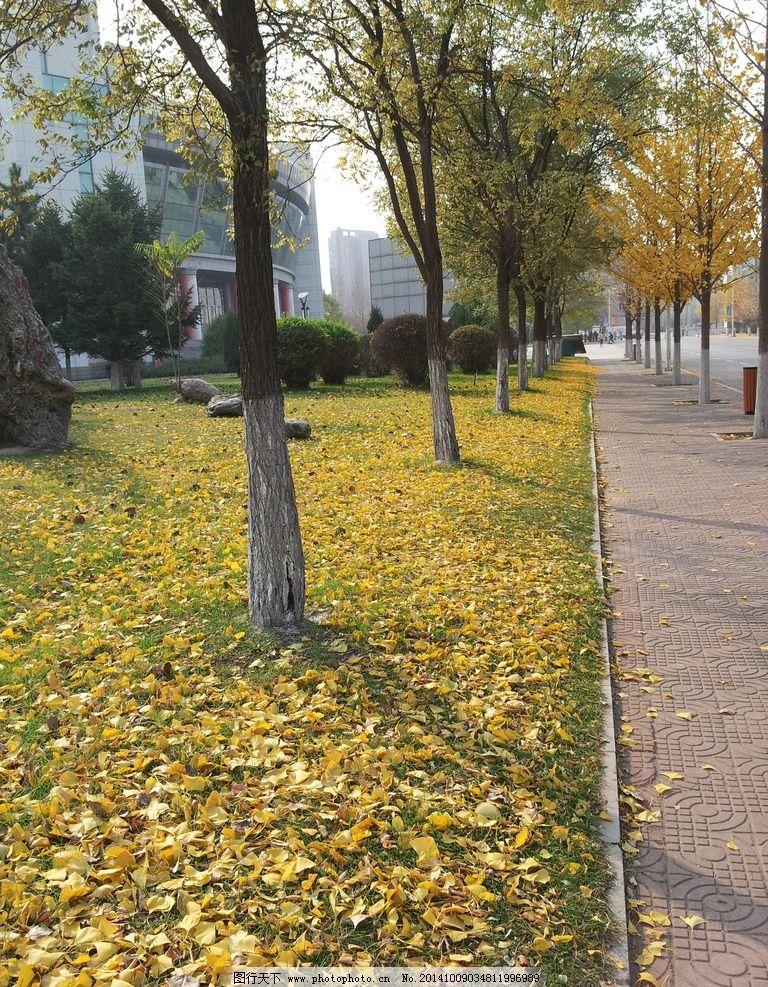 秋天 路边 金色 落叶 银杏 风景 树木树叶 摄影 自然景观 自然风景