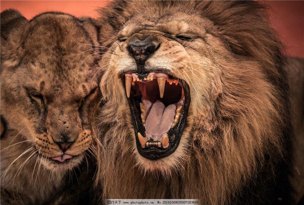 狮子 雄狮 猛兽 狮子王 野兽 公狮子 摄影 生物世界 野生动物 300dpi