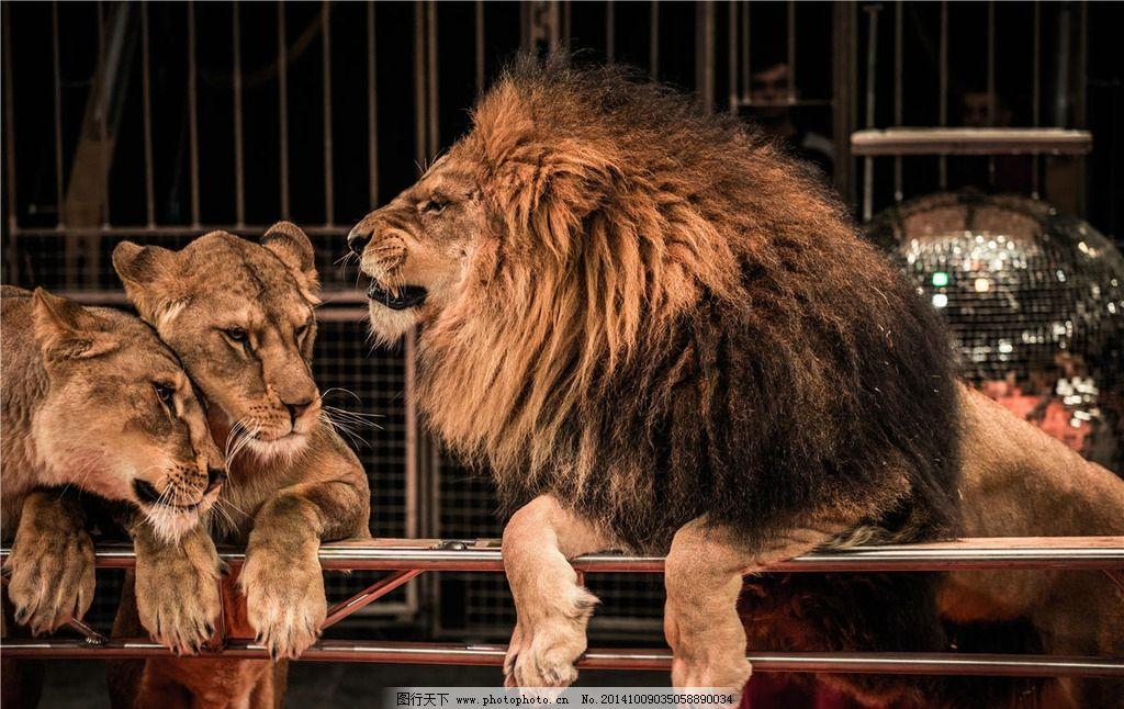 狮子 雄狮 猛兽 狮子王 野兽 公狮子 摄影 生物世界 野生动物