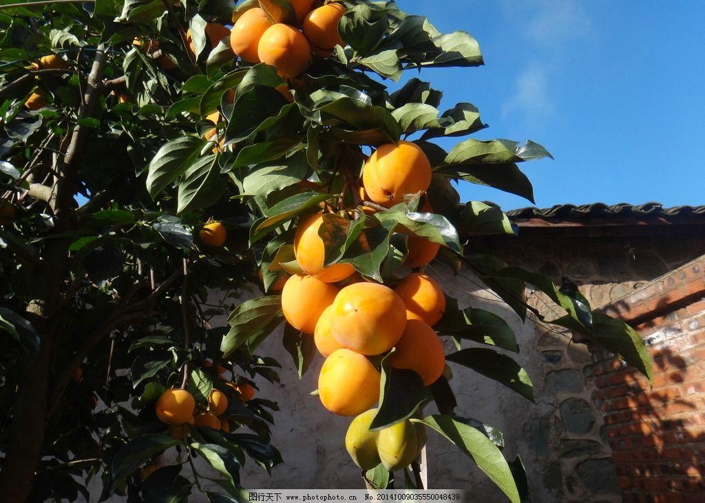 水果 柿子 熟透的柿子