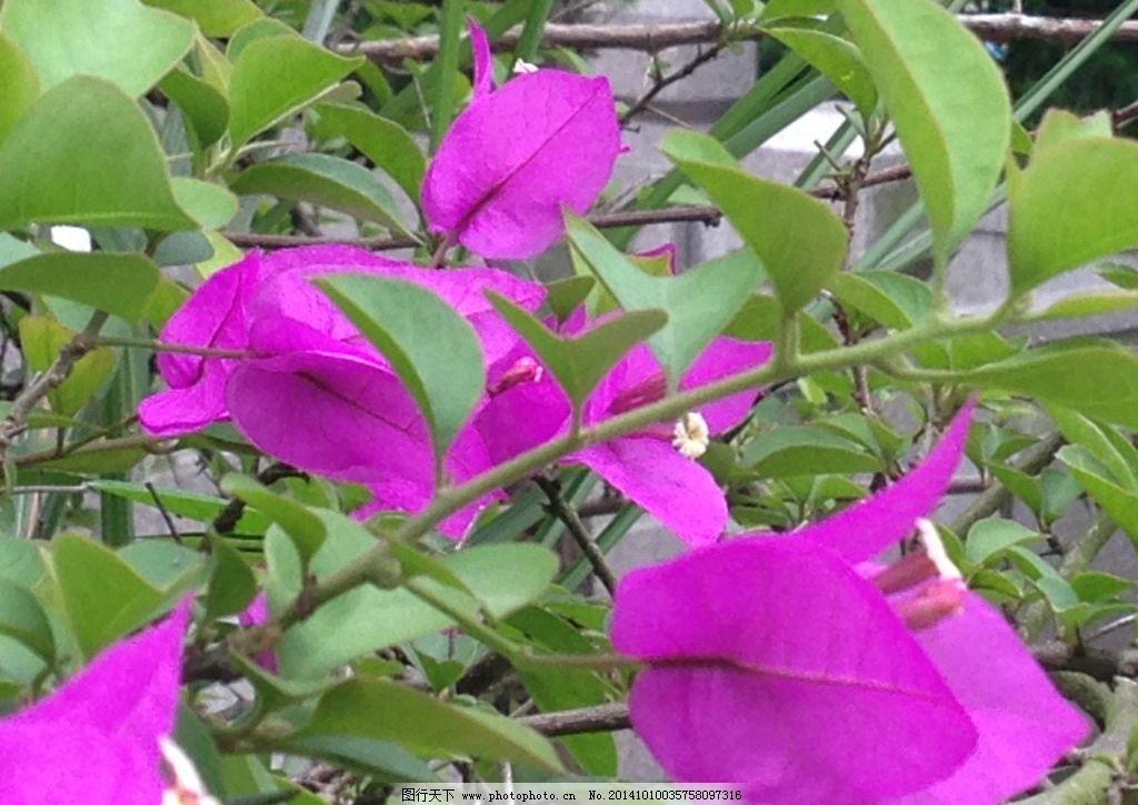 紫叶花 紫色花 花卉 花树 背景 风景 自然风光 摄影