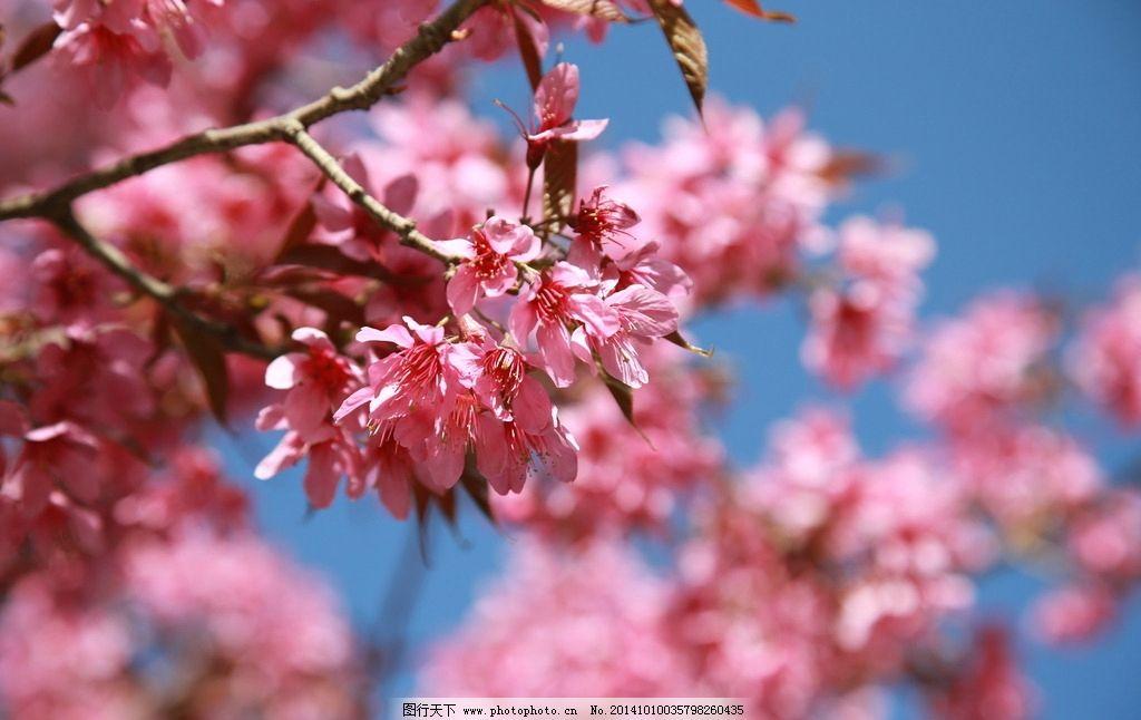 樱花 蓝天 自然风光 旅游摄影 大理 摄影 生物世界 花草 72dpi jpg