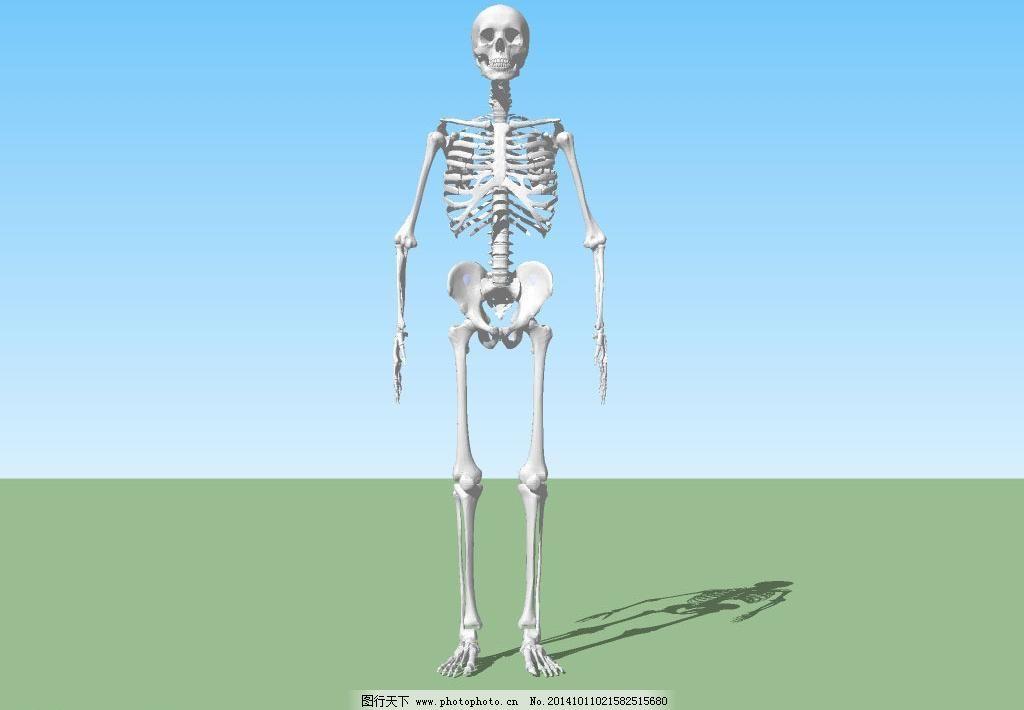 骨架免费下载 3d设计模型 skp模型 骨骼 骨架 骷髅 立体 人体 三维 源