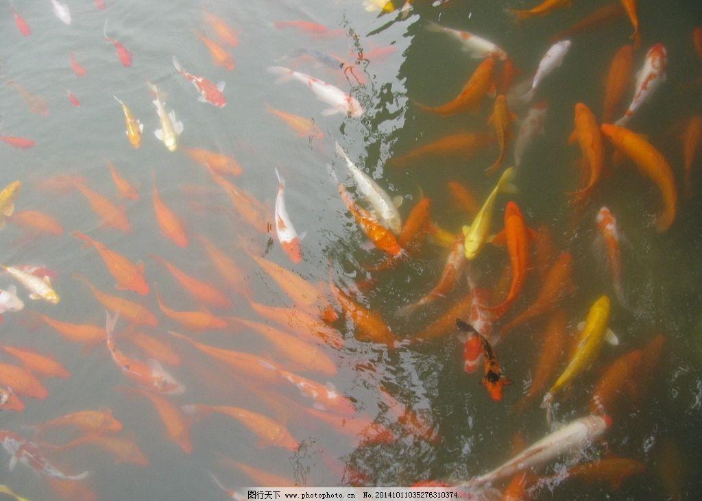 观赏鱼 锦鲤 金鱼 水生动物 动物 池鱼 美丽北京 自然景观 动物世界