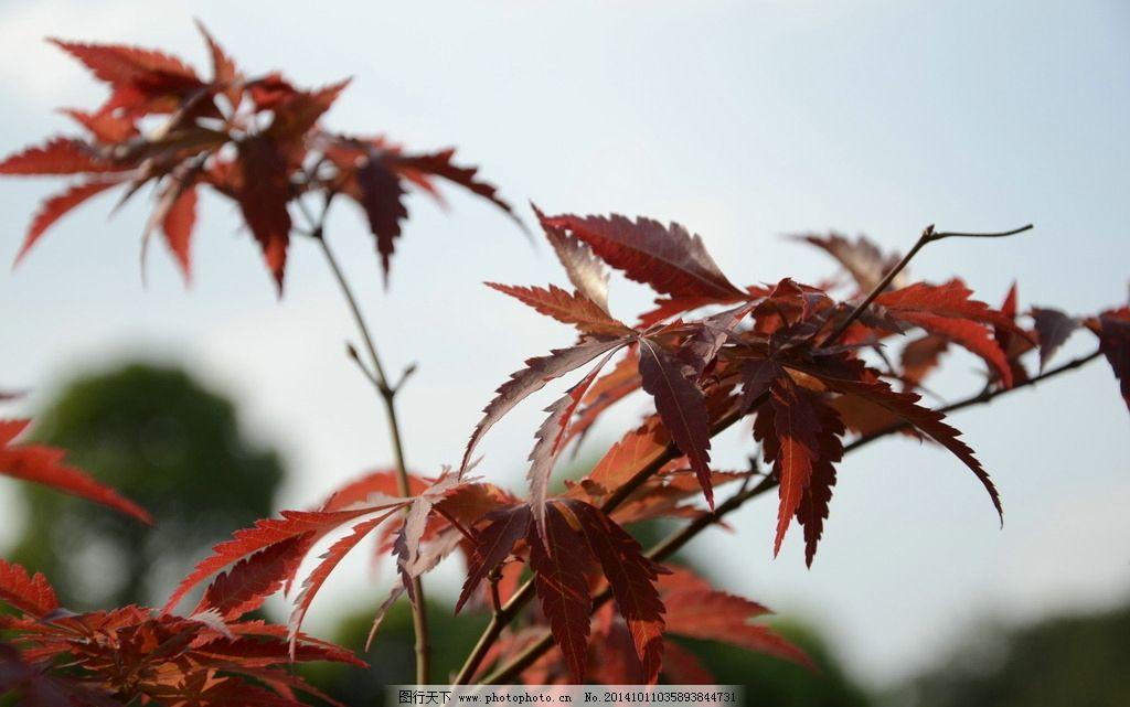 枫叶红了图片_树木树叶