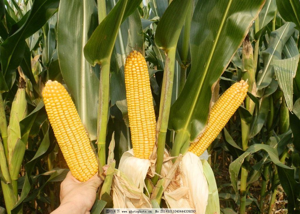 su玉米雕塑模型