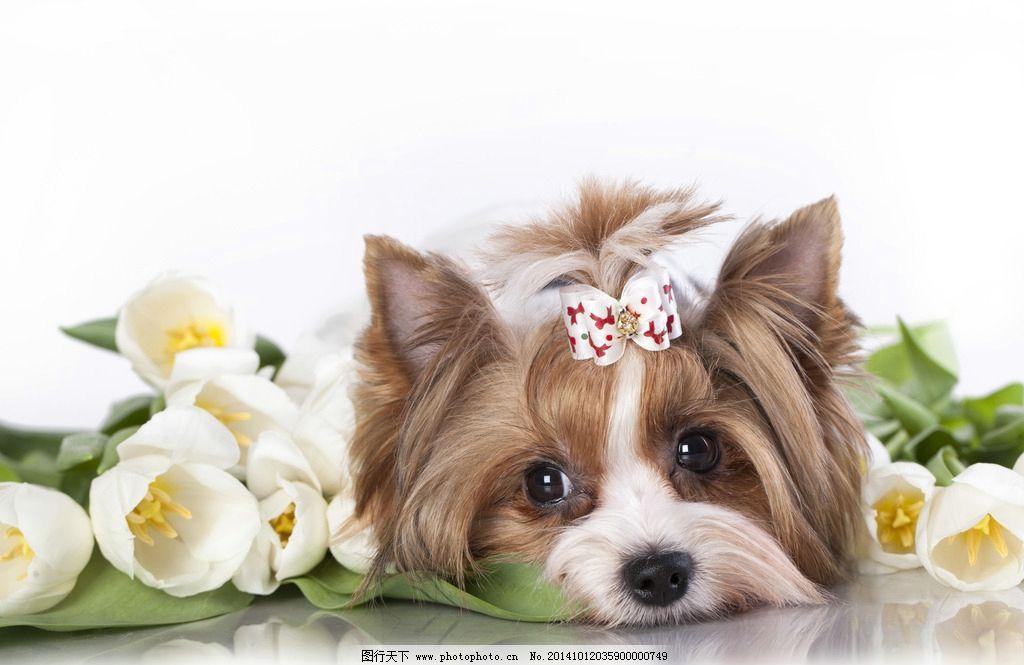 宠物狗图片,小狗 犬类 哺乳动物 摄影-图行天下图库