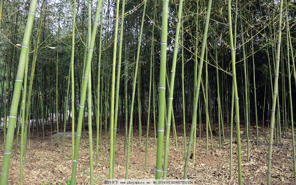 绿色 竹子 竹林 竹叶 梅兰竹 墨竹 绿竹 风景 摄影 自然景观