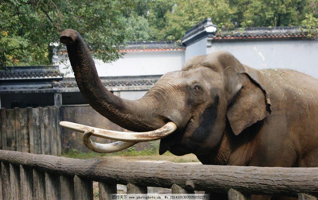 大象 象牙 鼻子 半身象 摄影 生物世界 野生动物