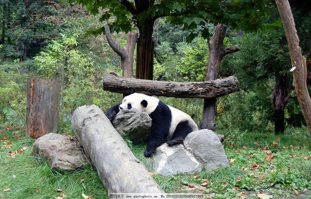 大熊猫 卧龙大熊猫 动物 环境 森林 野生动物 珍稀动物 濒危动物