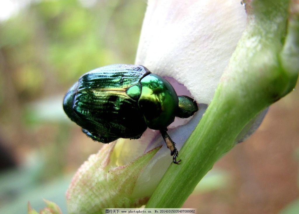 金龟子 无脊椎动物 昆虫纲 鞘翅目 杂食性害虫 铜绿金龟子 摄影