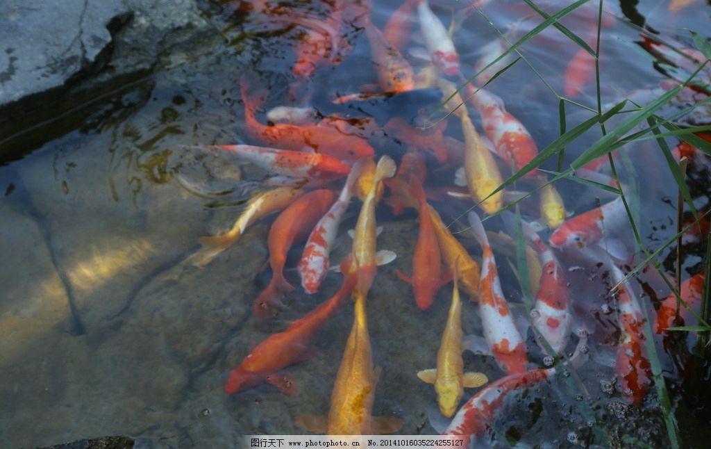 观赏鱼 锦鲤 金鱼 水生动物 池鱼 美丽北京 自然景观 动物世界