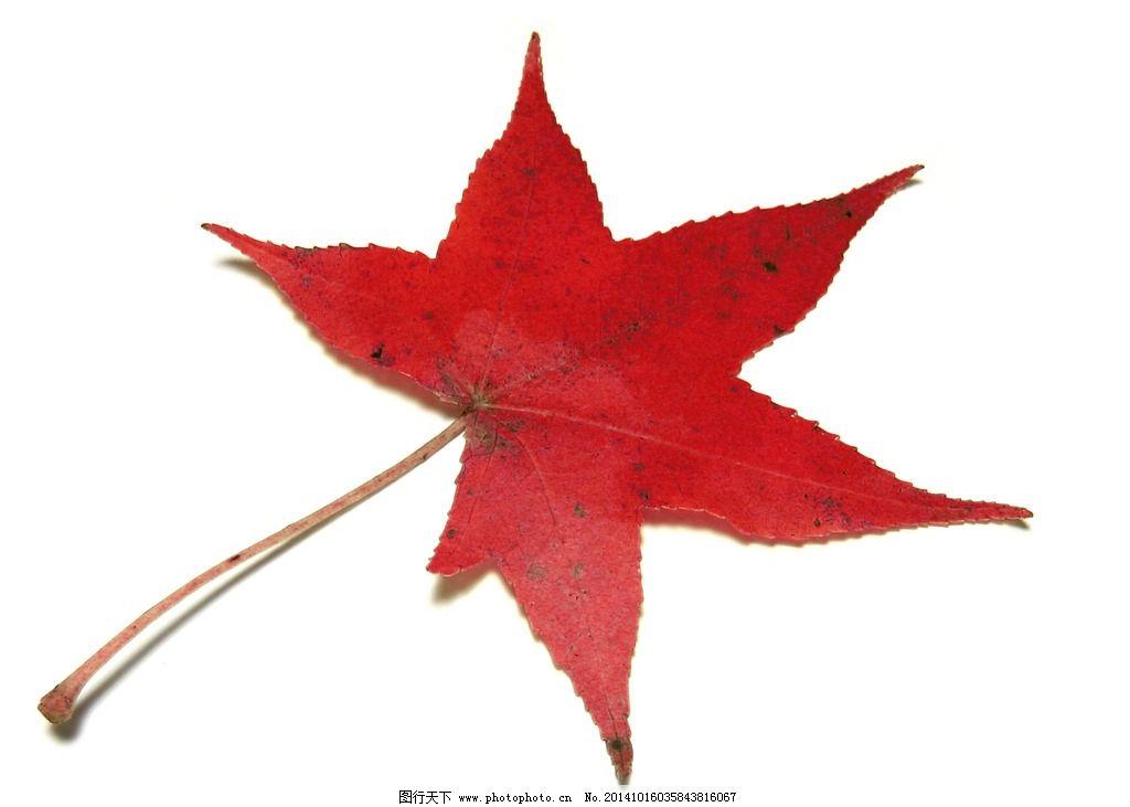 红叶 枫叶 秋天 红枫 叶子 树叶 100dpi     树木 摄影 生物世界 树木图片