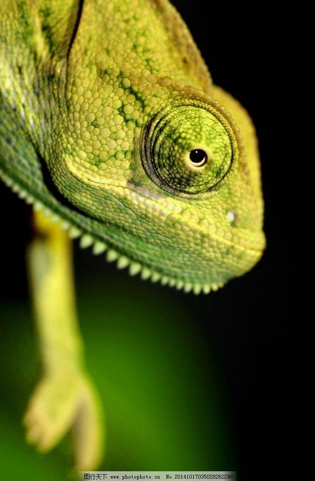 蜥蜴 变色龙 绿色 头部 爬行动物 冷血动物 野生 近景 特写