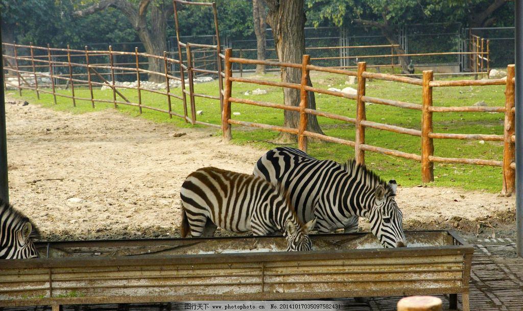 动物园 马 野马 骏马 骆 非洲斑马 食草动物 动物 野生动物园 摄影