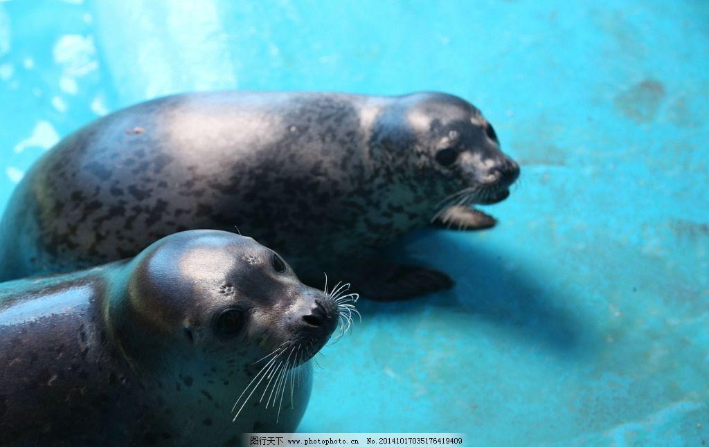 海豹图片_海洋生物_生物世界_图行天下图库