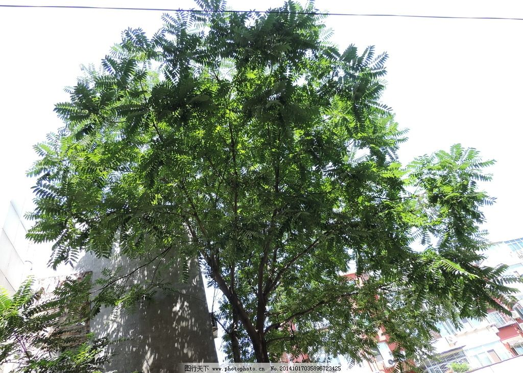 绿色 绿叶 大树 晴天 白色 摄影 生物世界 树木树叶 300dpi jpg