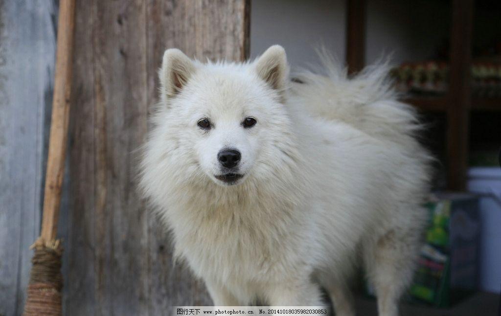 白狗图片,动物 萨摩耶 大狗 雄伟狗狗 摄影-图行天下