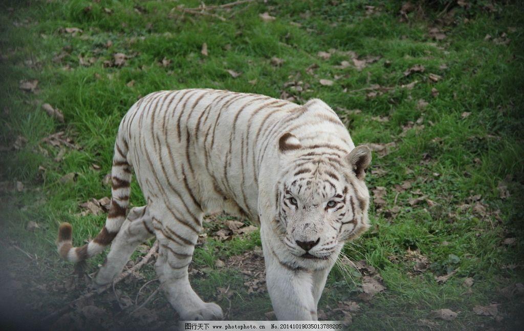 动物 动物园 上海 白老虎 凶残 摄影 生物世界 野生动物 72dpi jpg