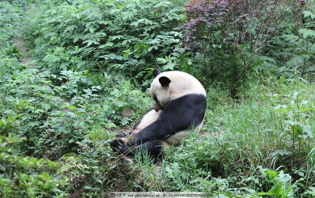 摄影 高清 旅游 四川 成都 熊猫基地 熊猫 摄影 生物世界 野生动物 72