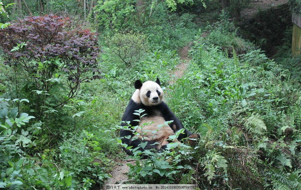 熊猫 摄影 高清 旅游 四川 成都 熊猫基地 生物世界 野生动物
