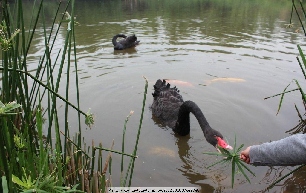 摄影 高清 四川 成都 熊猫基地 湖水 动物 天鹅  摄影 生物世界 野生