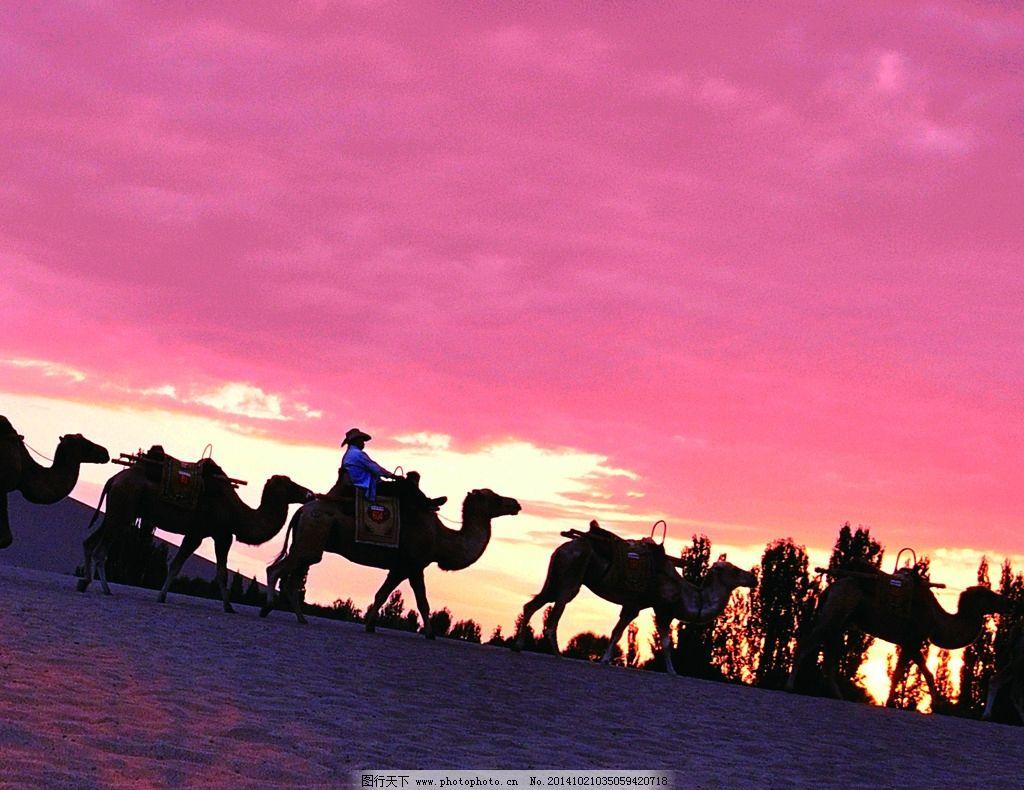 骆驼 夕阳 晚霞 动物 风景 摄影 生物世界 野生动物 300dpi jpg