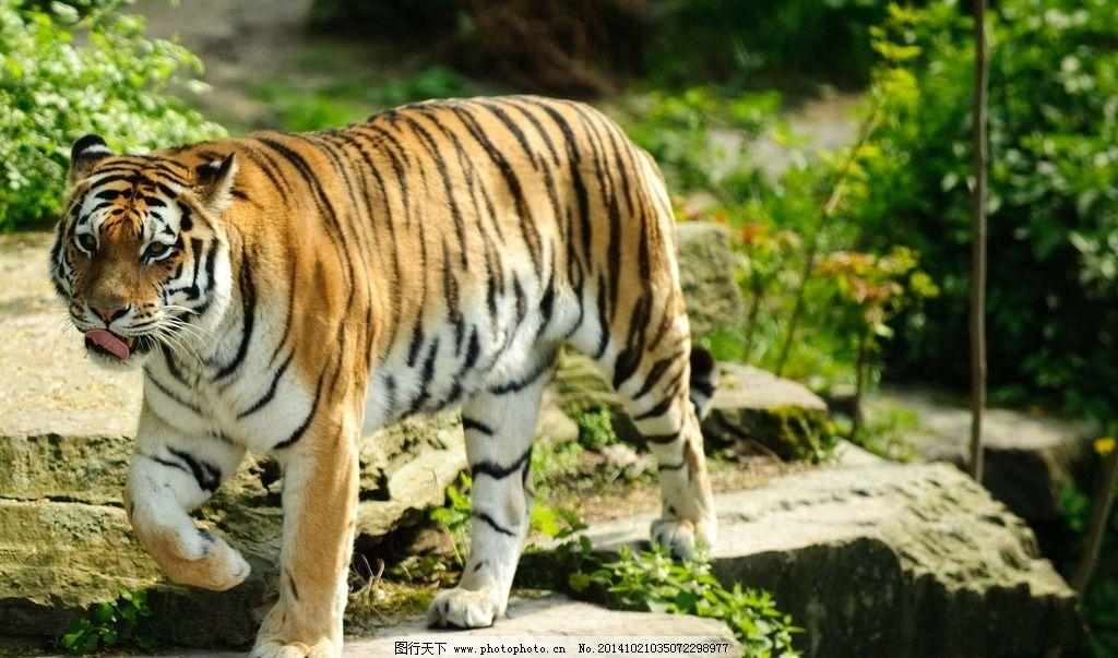 秦皇岛野生动物园老虎图片