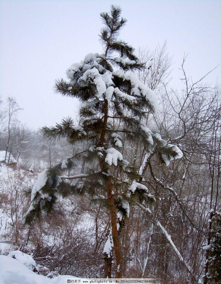 冬天的松树图片