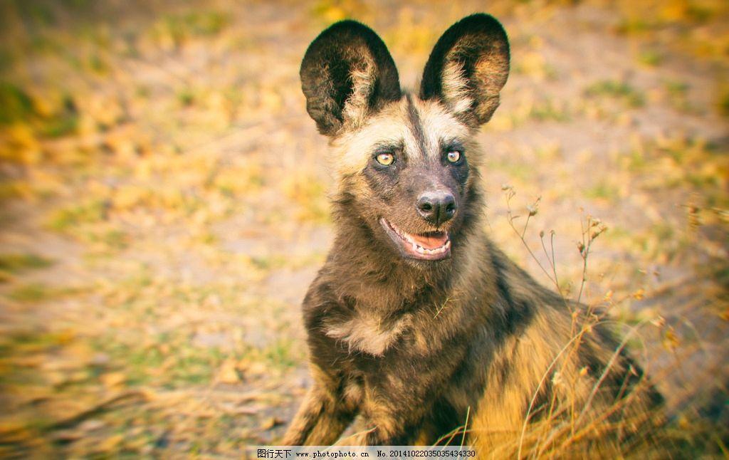 大耳朵野狗 大耳朵 野狗 野外 自然生物 野生动物 专注 眼神 秋天
