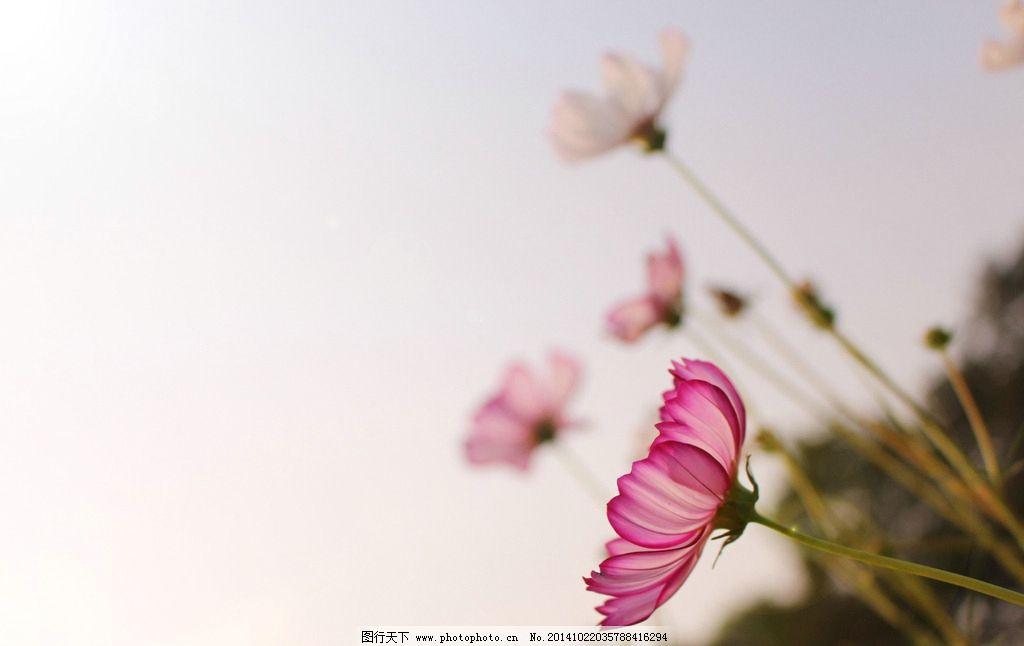 格桑花 花朵 小清新 粉红 花儿 小花 漂亮 摄影 生物世界 花草 72dpi