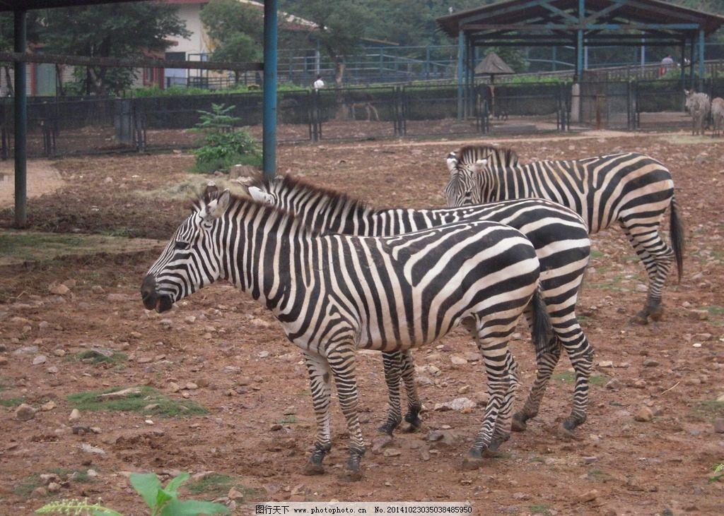 斑马 野斑马 动物园 动物园风景 野生动物 绿色风景 绿色家园 大自然