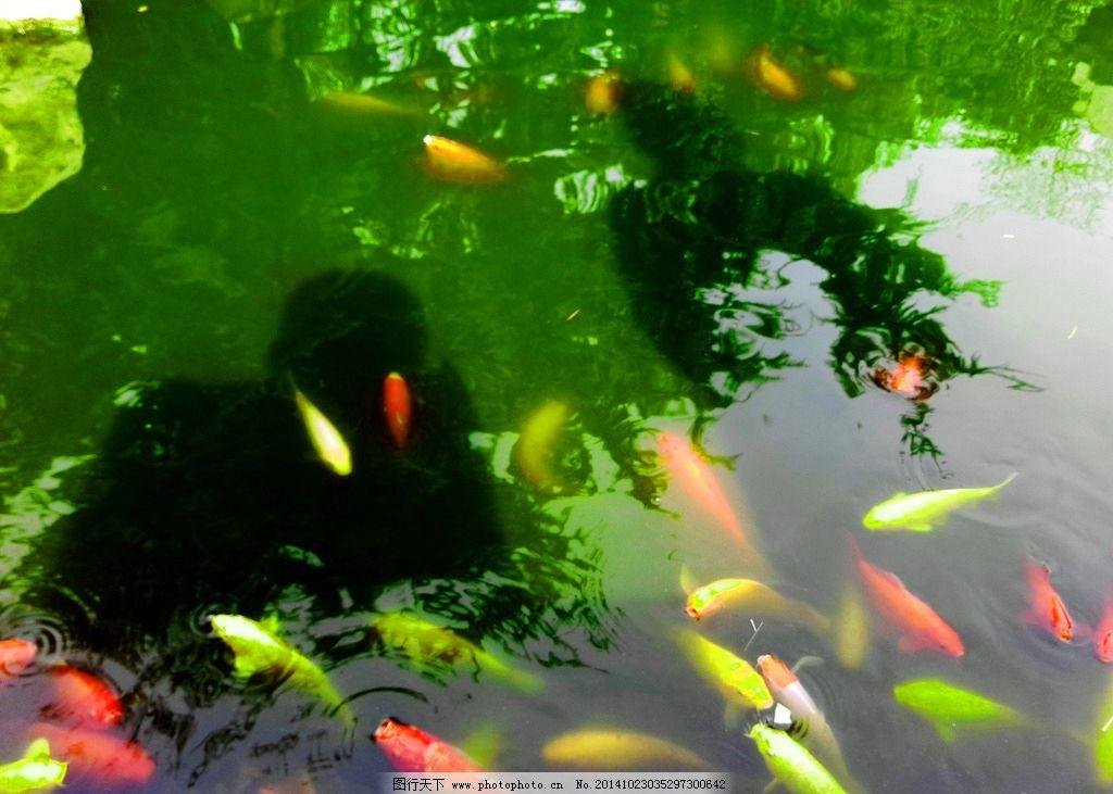 鱼 金鱼 水 池塘 风景 金鱼 摄影 生物世界 鱼类 72dpi jpg