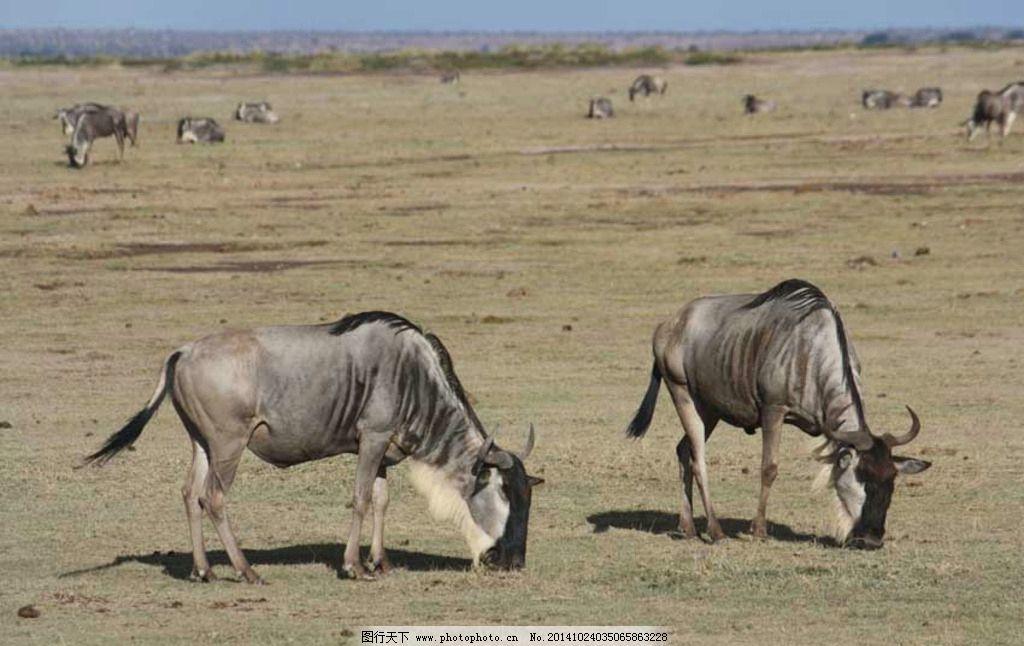 非洲动物 角马 非洲角马 野生动物 自然风光 动物 摄影 生物世界 野生