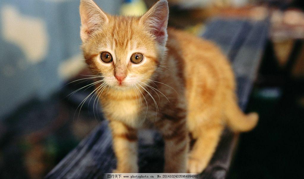 猫 小猫 黄猫 大猫 长毛猫 大眼睛猫 摄影 生物世界 家禽家畜 300dpi