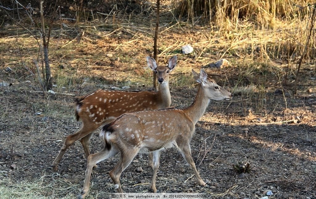 哺乳动物 鹿 梅花鹿 动物(共享)