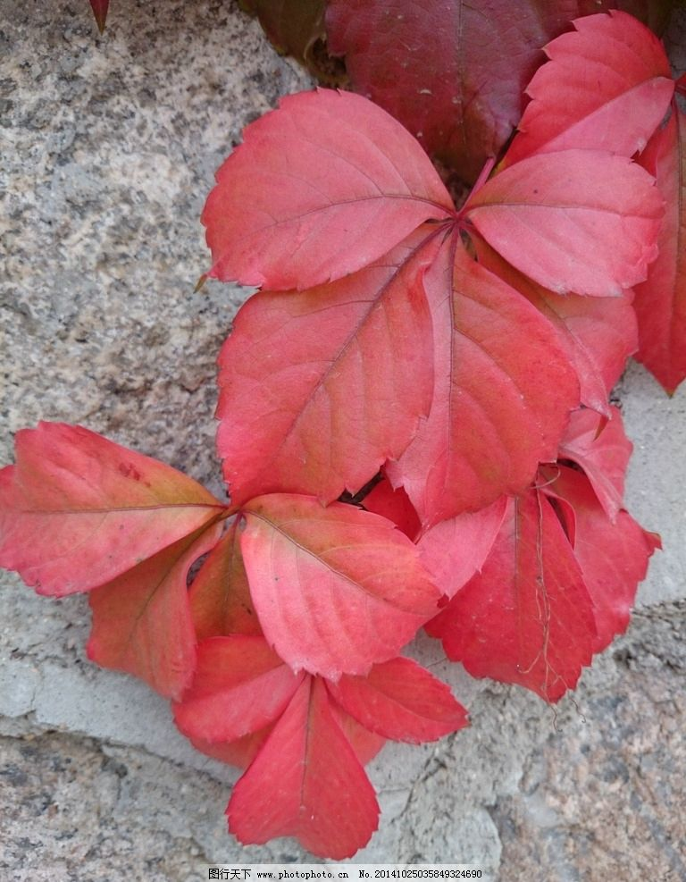 公园 秋游 赏红叶 蟒山森林公园 植物王国 摄影 生物世界 树木树叶 72